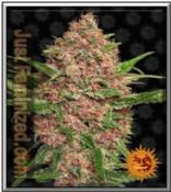 Barneys Farm Auto Purple Punch Cannabis Seed High Yields and Potent